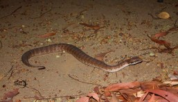 One of Australia's most venomous snakes