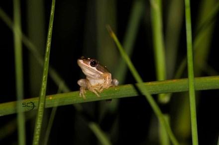 slendertreefrog