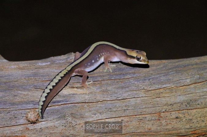 stonegecko